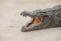 Парк Тунис сафари крокодила Стоковое Изображение RF