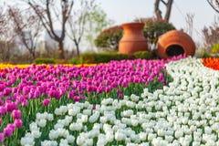 Парк тюльпанов весной стоковая фотография