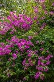 Парк университета Чиангмая бугинвилии Стоковые Фото