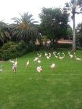 Парк фламинго Стоковая Фотография
