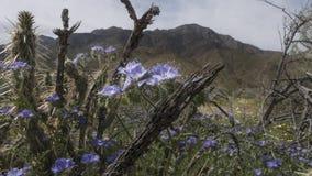 Парк штата Калифорния пустыни Anza-Borrego полевых цветков Стоковые Фотографии RF