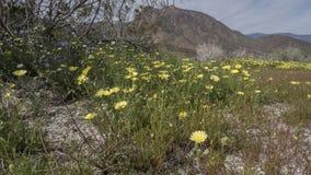 Парк штата Калифорния пустыни Anza-Borrego полевых цветков Стоковая Фотография RF
