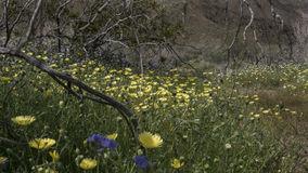 Парк штата Калифорния пустыни Anza-Borrego полевых цветков Стоковая Фотография
