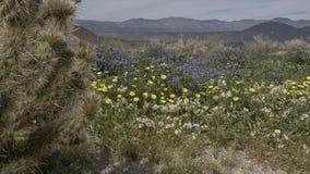Парк штата Калифорния пустыни Anza-Borrego полевых цветков Стоковое Изображение RF