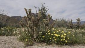 Парк штата Калифорния пустыни Anza-Borrego полевых цветков Стоковое Изображение