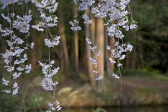 Парк 10 Элизабета - белые цветки стоковое изображение