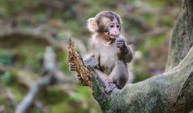 Парк Iwatayama обезьяны Arashiyama стоковые изображения rf