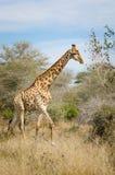 Парк Kruger жирафа, Южная Африка Стоковые Фото
