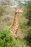 Парк Kruger жирафа, Южная Африка Стоковое фото RF
