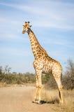 Парк Kruger жирафа, Южная Африка Стоковые Изображения