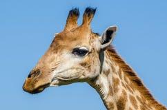 Парк Kruger жирафа, Южная Африка Стоковая Фотография RF