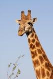 Парк Kruger портрета жирафа Стоковое Изображение RF