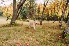 парк labrador Стоковая Фотография RF