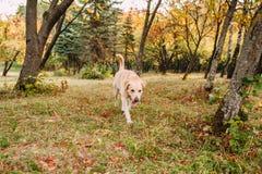 парк labrador Стоковое Изображение