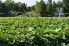 Парк Lacul Tei в озере Бухарест вполне waterlilies цветения Стоковое фото RF
