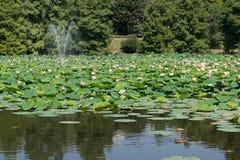 Парк Lacul Tei в озере Бухарест вполне waterlilies цветения Стоковые Изображения RF