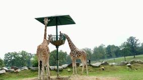 ПАРК POMBIA САФАРИ, ИТАЛИЯ - 7-ОЕ ИЮЛЯ 2018: любознательные жирафы в зоопарке САФАРИ Перемещение в автомобиле зебры едят от больш сток-видео