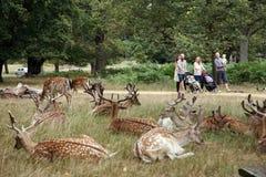 парк richmond оленей Стоковое фото RF