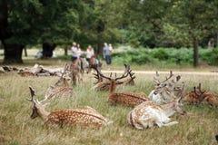 парк richmond оленей стоковые изображения