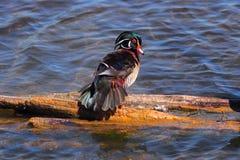 Парк Warner Lote деревянной утки, Burnaby ДО РОЖДЕСТВА ХРИСТОВА, Канада Стоковое Изображение RF