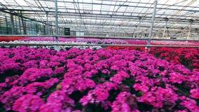 Парник и яркий расти цветков в баках видеоматериал