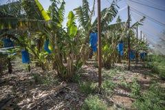 Парник плантации банана Стоковые Изображения