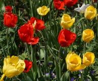 Партия тюльпана Стоковое Изображение