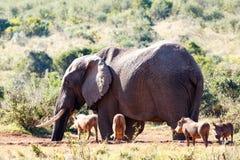 Партия Pumba - слон Буша африканца Стоковые Фото