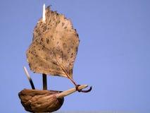 парусник ореховыйой скорлупы стоковая фотография