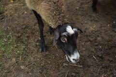 Паршивая овца Стоковое Изображение RF