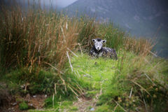 Паршивые овцы на холме в сельской местности Стоковые Фото