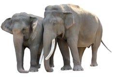 пары азиатского слона изолированные Стоковые Фото