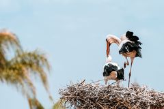 Пары аиста на гнезде Стоковые Фото