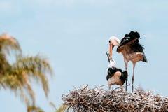 Пары аиста на гнезде Стоковое Изображение