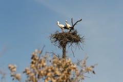 Пары аистов в гнезде Стоковое фото RF
