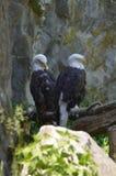 Пары американских белоголовых орланов садить на насест совместно в дереве Стоковое фото RF