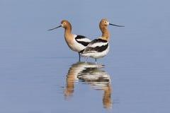 Пары американских Avocets и отражения в отмелом озере - Неваде Стоковые Фотографии RF