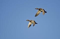 Пары американских Wigeons летая в голубое небо Стоковые Изображения RF