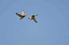 Пары американских Wigeons летая в голубое небо Стоковые Фотографии RF