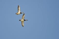 Пары американских Wigeons летая в голубое небо Стоковое Изображение