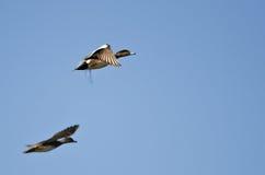 Пары американских Wigeons летая в голубое небо Стоковые Изображения