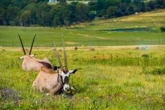 Пары антилопы Orix Стоковые Фото