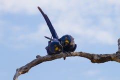 Пары ары гиацинта, бразильской живой природы Стоковые Фото
