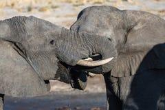 Пары африканского слона на waterhole Сафари в национальном парке Chobe, назначение живой природы перемещения в Ботсване, Африке стоковая фотография rf