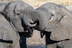 Пары африканского слона на waterhole Сафари в национальном парке Chobe, назначение живой природы перемещения в Ботсване, Африке стоковое фото rf