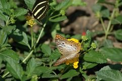 Пары бабочек Стоковые Фото