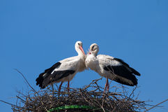 Пары белого аиста на гнезде Стоковые Изображения