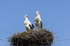Пары белых аистов в гнезде Стоковое Фото
