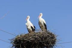 Пары белых аистов в гнезде Стоковые Изображения