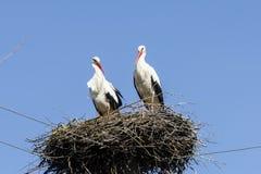 Пары белых аистов в гнезде Стоковые Фото